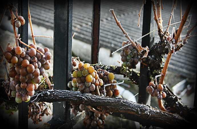 Uvas y ciruelas pasas