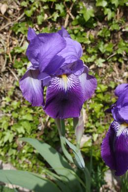 Los lirios o las flores de lis en San Pantaleón de Losa